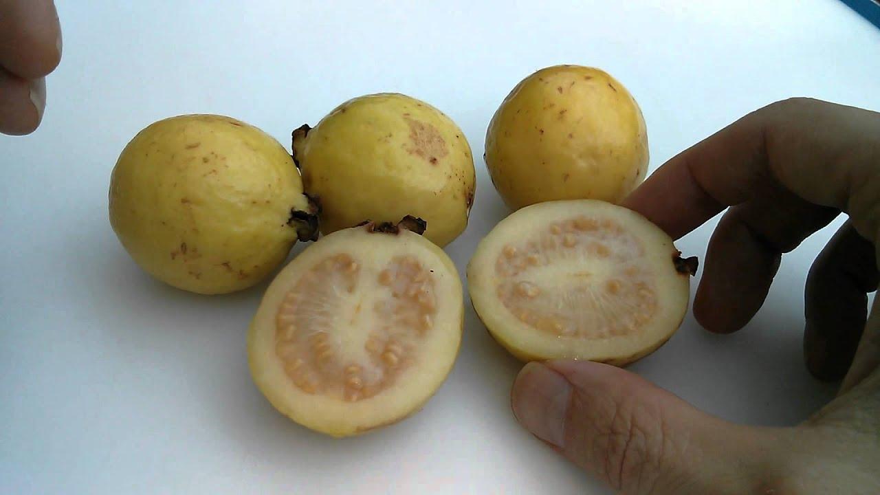 Picking ripening and eating guava or guayaba exotic fruit youtube picking ripening and eating guava or guayaba exotic fruit ccuart Gallery