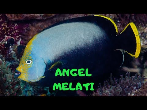 Memelihara Angel Melati / Keeping Black Velvet Angelfish (Chaetodontoplus Melanosoma)