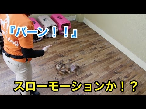 バーン!スローモーションか!?〜犬のしつけは大阪のsmart-dog〜