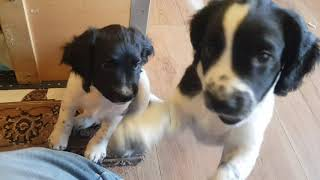 Wixys Puppies Puppys Puppy 8 Weeks old Playtime Madness English Springer Spaniels ESS