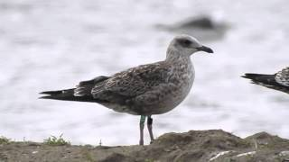 1CY Lesser Black-backed Gull Green 1P with replaced coverts - 20150905