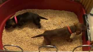 Dachshund Potti Training