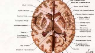 cuerpocalloso,fornix y ganglios basales.wmv