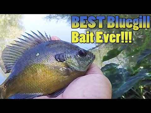 Best Bluegill, Panfish Bait Ever!!! How To Catch Bluegill On A Pond, Creek, Lake, Or River.