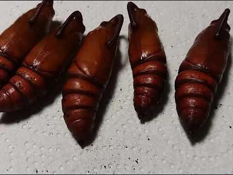Как вырастить бабочку № 3 Огромные личинки, СКЕЛЕТЫ ГУСЕНИЦ. Определение пола бабочек!