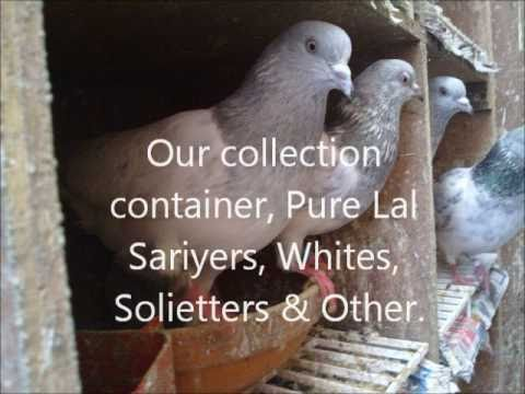 Pigeon pakistani Tipplers Travel Video