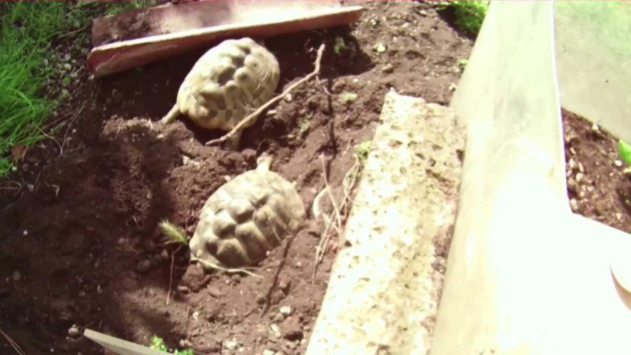 Tartarughe hermanni deposizione e tartarughini doovi for Deposizione uova tartarughe terrestri