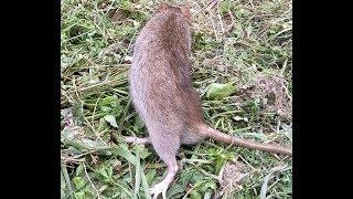 ДУМАЛИ КРОТ ИЛИ СЛЕПЫШ ОКАЗАЛАСЬ КРЫСА/Дикая крыса на даче /КАК ПОЙМАТЬ КРОТА КРЫСУ МЕДВЕДКУ МЫШЬ
