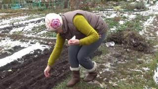 Посев моркови и свеклы в зиму