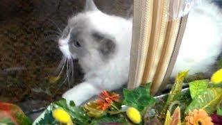 Рэгдолл - Няшный Пушистый КРАСАВЕЦ на Выставке Кошек  ПОРОДЫ КОШЕК