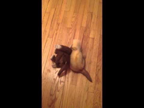 A Ferret Caught Stealing!