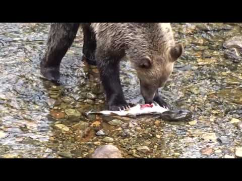 Grizzly bears and whales at Knights Inlet Lodge, British Columbia, Canada