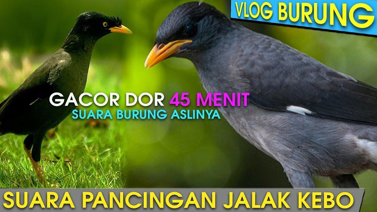 Suara Burung Jalak Kebo Tembakan Keras Si Sangar Jalak Kebo Kicaumania Youtube