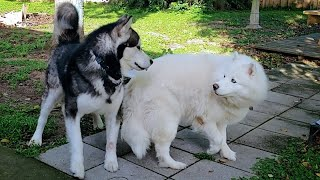 I Wasn't Expecting This To Happen! Malamute Reunites With Husky After Her Heat Is Done!