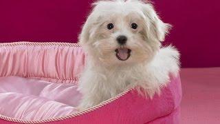 Болоньезе/Bolognese (порода собак HD slide show)!