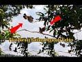 Pikat Burung Kutilang Gacor Nggaruda Bikin Lawan Emosi  Mp3 - Mp4 Download