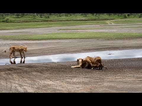 Tanzania Safari Lions in Ngorongoro Conservation Area.MOV