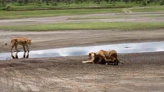 Tanzania Safari Lions in Ngorongoro Conservation Area.MOV