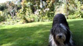 Tiffin  Bearded Collie  Lazy Dog Tricks