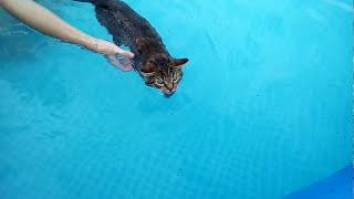 Кот Рыся плавает в бассейне.The cat, named Rysik swims in the pool.