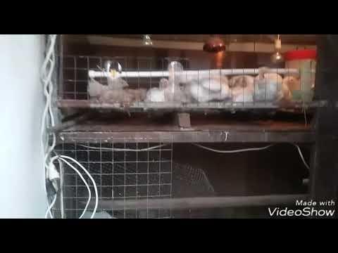 Доставка предлагаем следующие товары: бройлер живым весом от 100р/кг. Бройлер мясо от 160р/к. Цена: 100 руб. Тульская обл. , михаил, 07-01-2018, продам / купить. Цыплята несушку ломан браун 3. Цыплята несушку ломан браун. 15 руб. Предлагаю суточных и подрощенный цыплят несушки ломан.