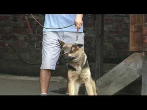 Jotin Kangleicha (JONE DOG CARE CENTRE) 22 days dog training DVD