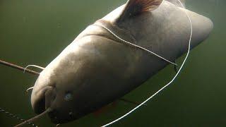 подводная охота сом 27кг spearfishing for catfish