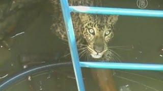 В Индии спасли леопарда, упавшего в колодец (новости)