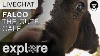 Update On Falco The Calf - Farm Sanctuary Live Chat 10/27/17