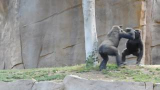 Gorillas Fighting at Safari Park!