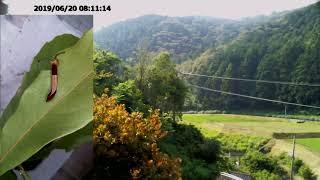 巣タジオから見た里山の風景とスミナガシの幼虫@ヤマビワ 6月20日 thumbnail
