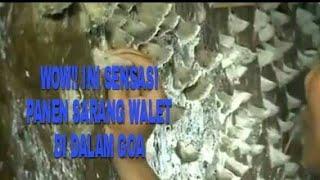 Wow!!! Ini Sensasinya Panen Sarang Walet Dalam Goa