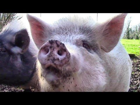 Wir haben neue Schweine!