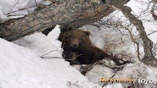 BEAR HUNTING IN THE WINTER ! охота на медведя зимой !!!