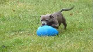 Sadie And Her Egg Toy - Staffordshire Bull Terrier