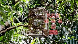 Đẳng Cấp Bẫy Chim Rẻ Quạt    7 2017