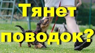 DOG / Что делать если собака тянет поводок