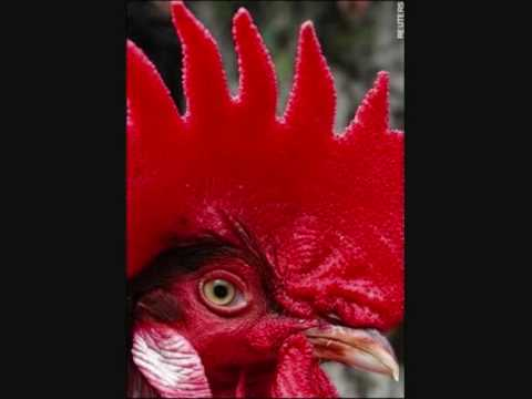 Little Red Rooster   -    Taj Mahal.wmv