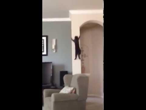 Cat Climbing Wall Youtube