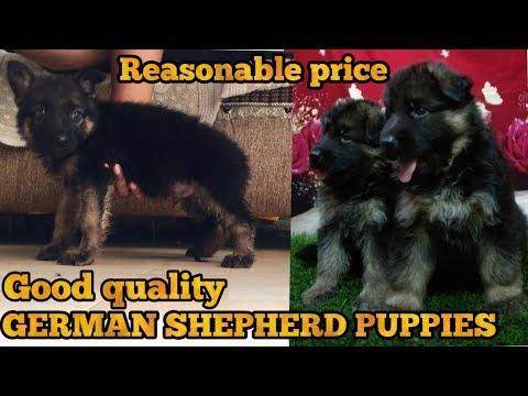 German shepherd puppy for sale | German Shepherds