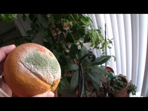 Growing penicillin (Antibiotic) on an orange