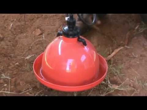 Automatic Drinkers For Giving Chickens Water In A Poultry