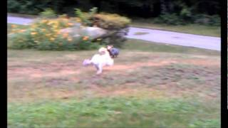 Amazing Theft And Chase Scene With Chinese Crested Powderpuff And Yorkshire Terrier