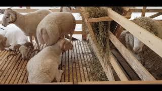 Всероссийская выставка овец и коз 2021 года Минеральные воды.