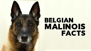 Belgian Malinois Everything You Need to Know