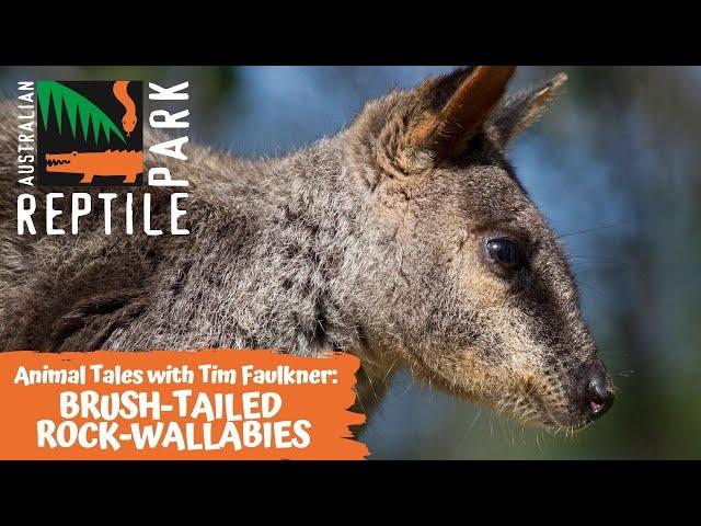 ANIMAL TALES WITH TIM FAULKNER | EPISODE 17 | BRUSH-TAILED ROCK-WALLABIES