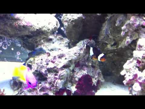 Mixing Clownfish Pairs?