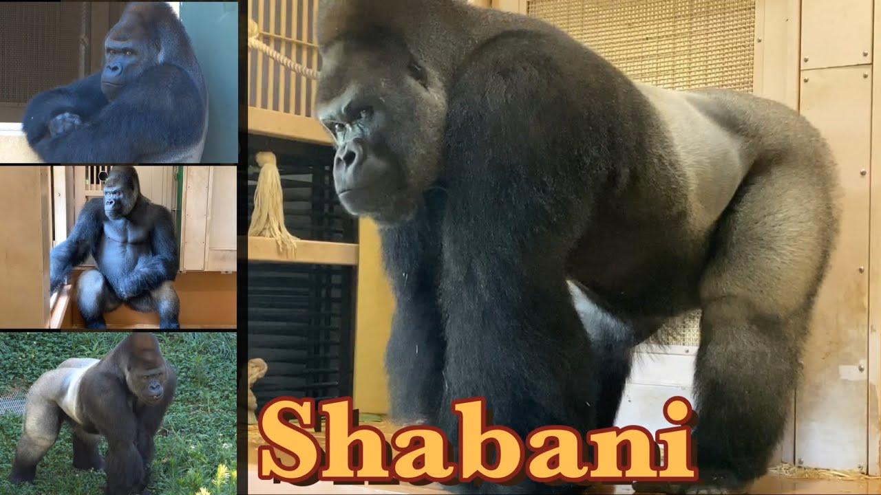 噂のイケメンゴリラ!シャバーニファミリーに初対面♪⭐️Gorilla【東山動植物園】Very handsome❗️I finally met the Shabani family!