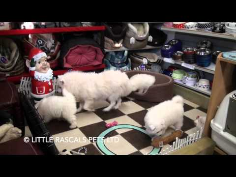 Little Rascals Uk breeders New litter of Samoyed pups with mummy - Puppies for Sale 2015