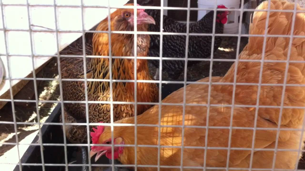 how to keep your chickens cool in extreme desert heat cheaply